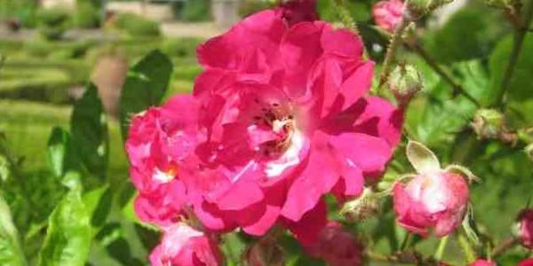 La rose racontée par Jean-Marie Pelt dans co2  mon-amour sur france Inter