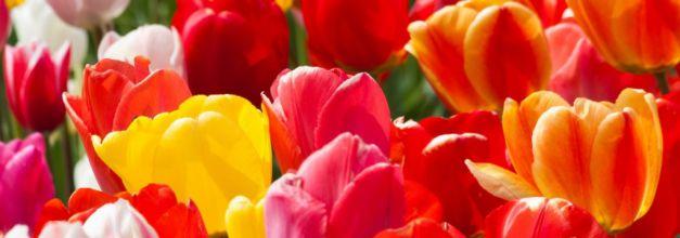 Les Tulipes c'est le moment de les planter !
