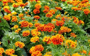 Le top 5 des fleurs utiles au potager