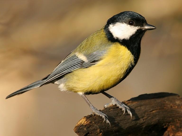 Quel oiseau porte une cravate sur un gilet jaune ?