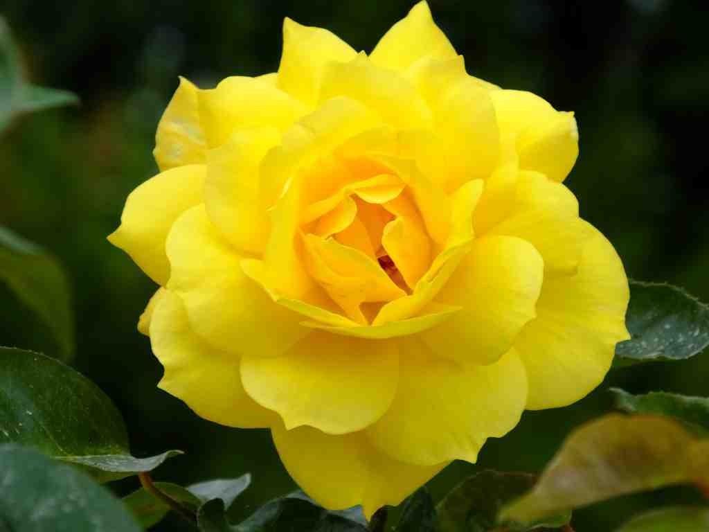 Journées de la Rose