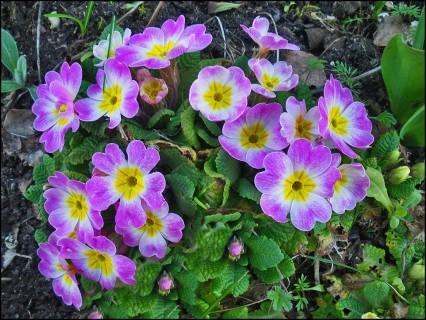 La Fleur du mois est la Primevère.