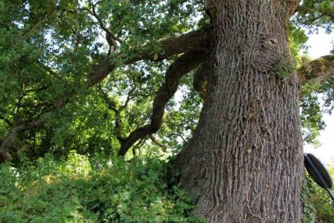 L'arbre du Mois est le Chêne
