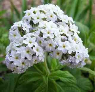 L'héliotrope, la fleur du mois d'Aout