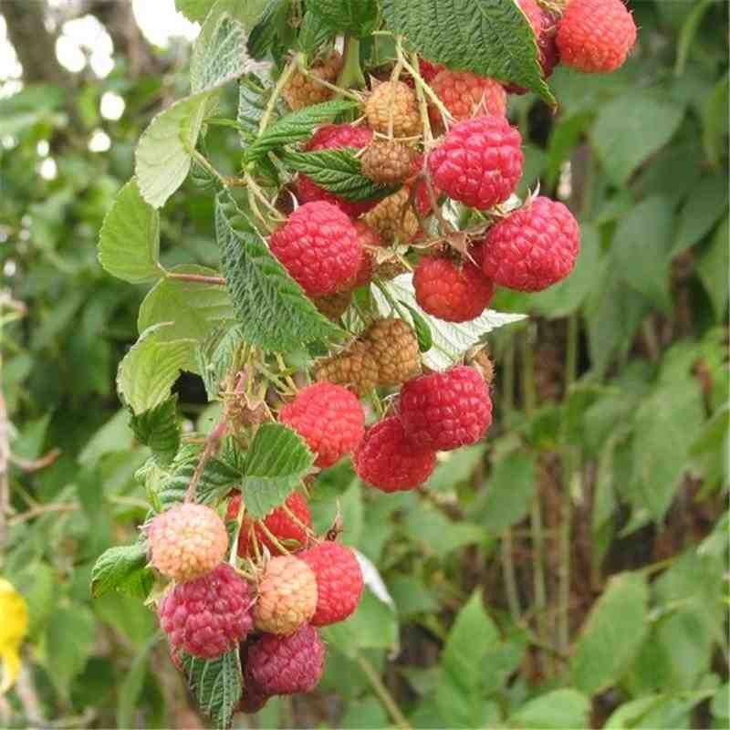 En août au jardin fruitier