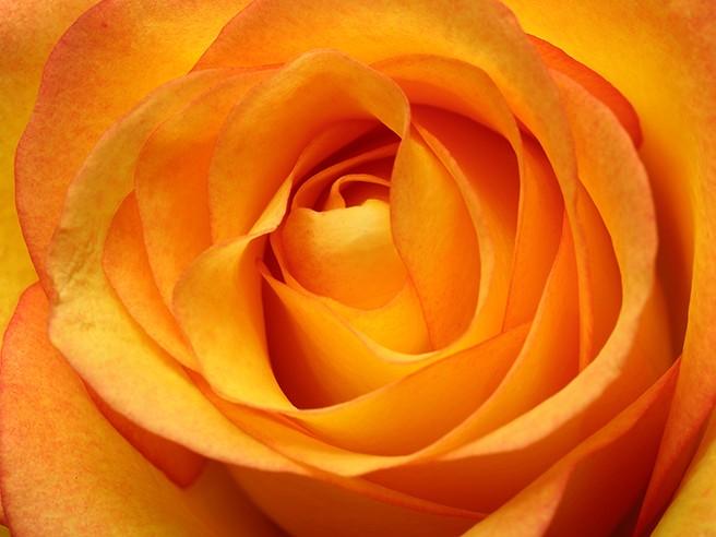 Visite guidée : HISTOIRE DE ROSES