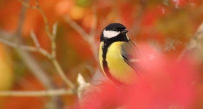 Le Comptage national des oiseaux des jardins, c'est bientôt !