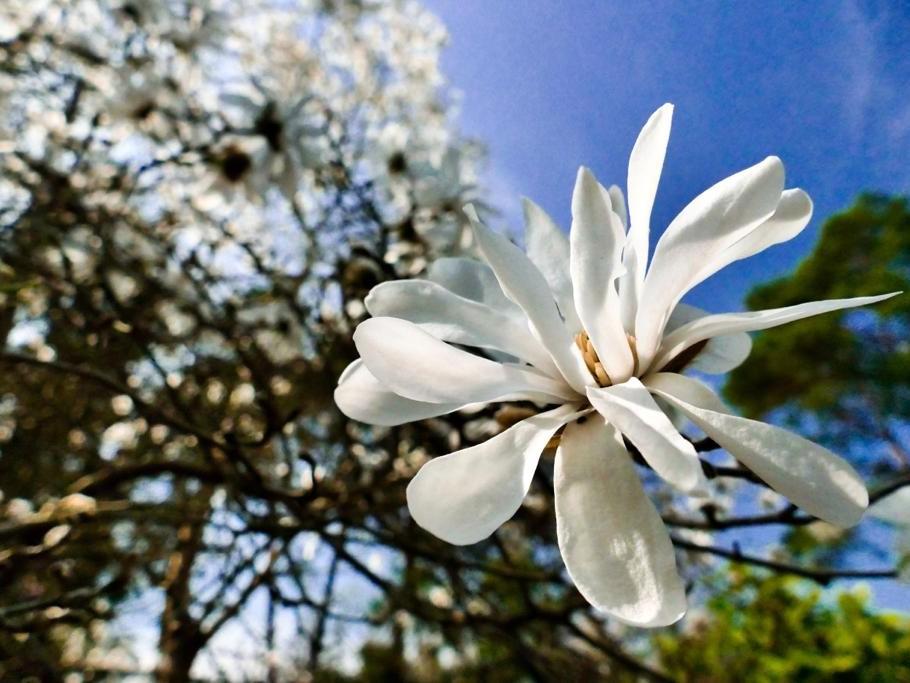 "Concours photos ""Magnolias"""