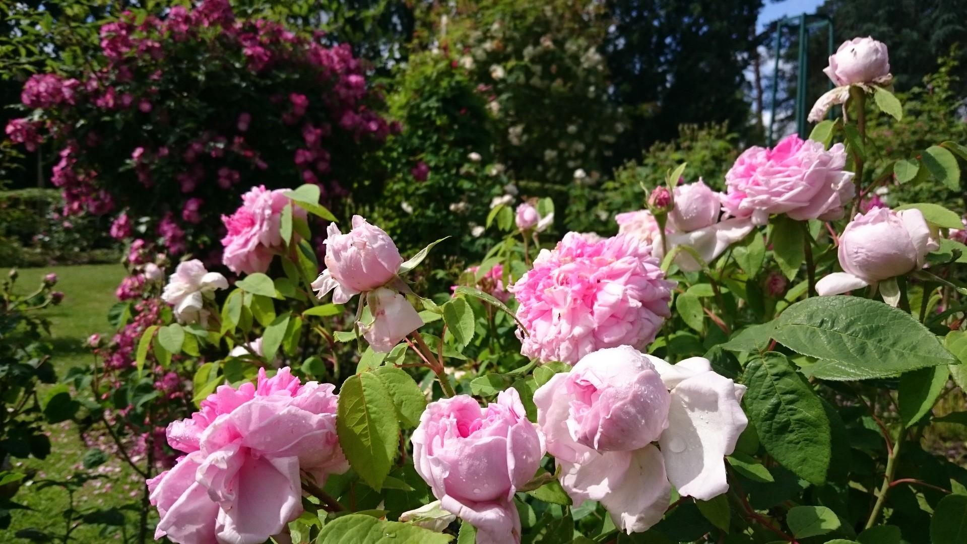 Dimanche Rose