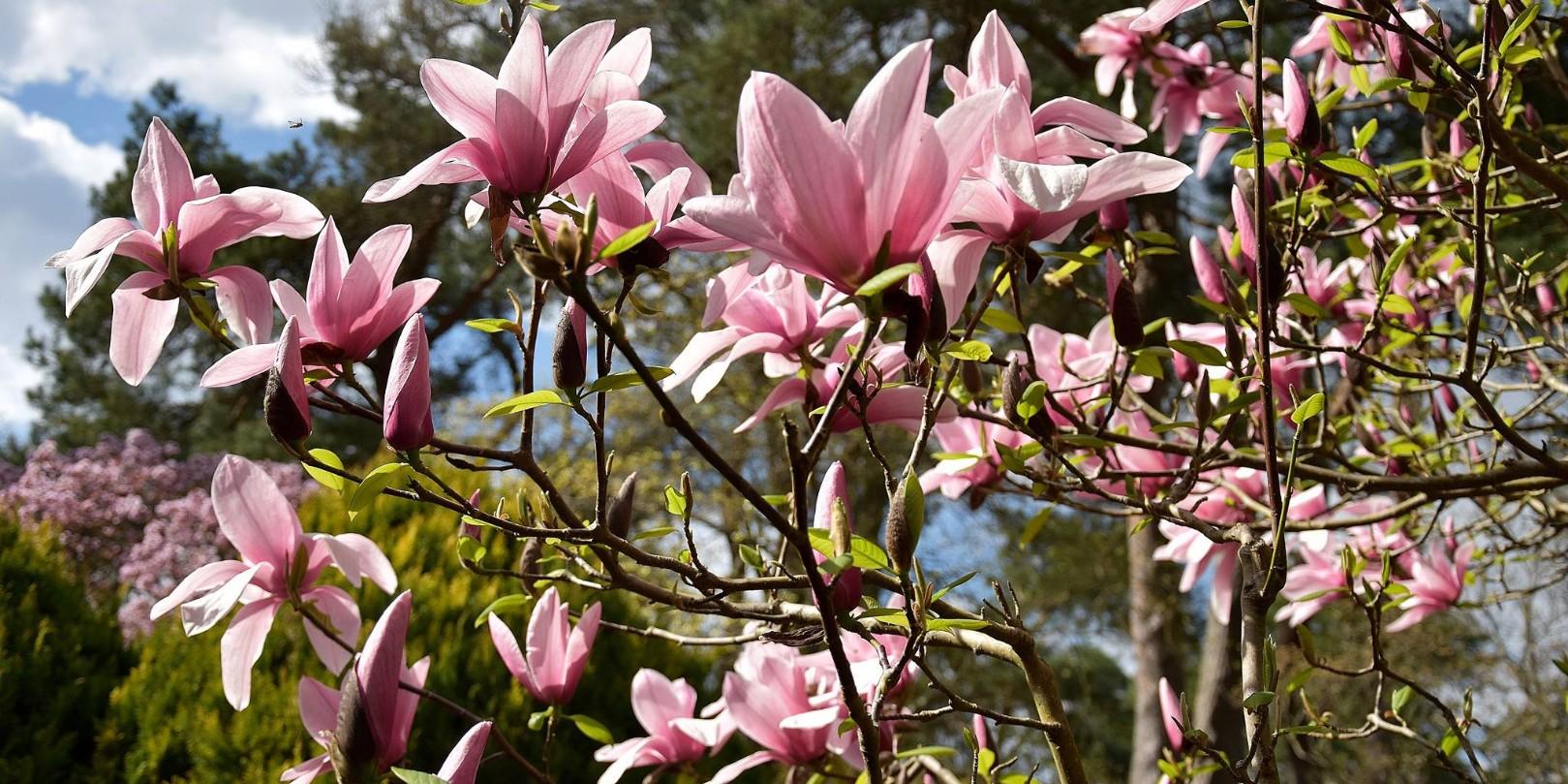 Dimanches Magnolias